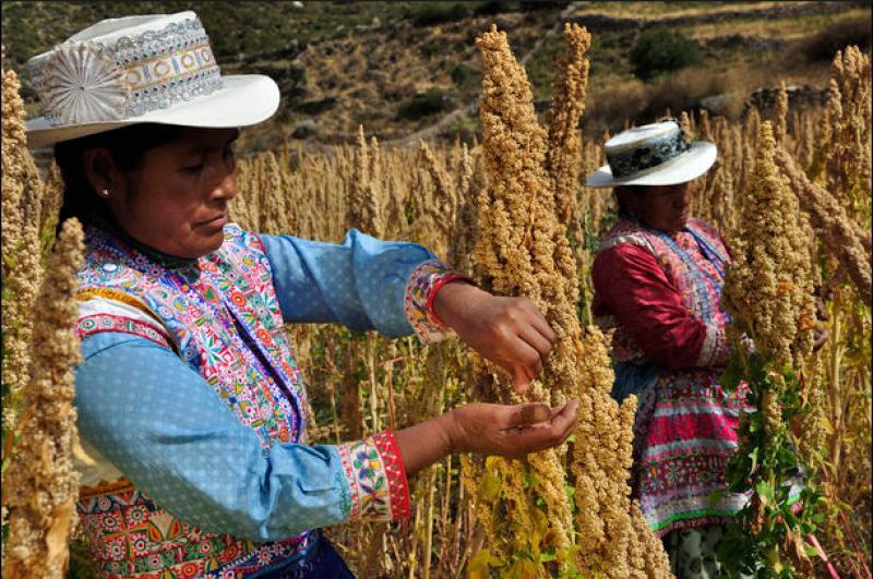 Precios bajos y falta de oportunidades para exportar su producción afectan a 30 mil  cultivadores de quinua orgánica del interior