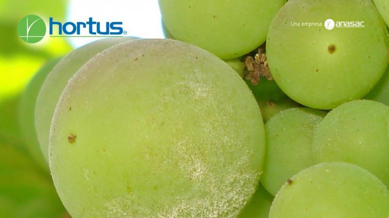 Prevención y actuación rápida son esenciales para detener la propagación del hongo Oídium