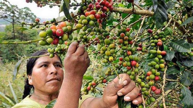 Producción nacional de café caería 5% este año