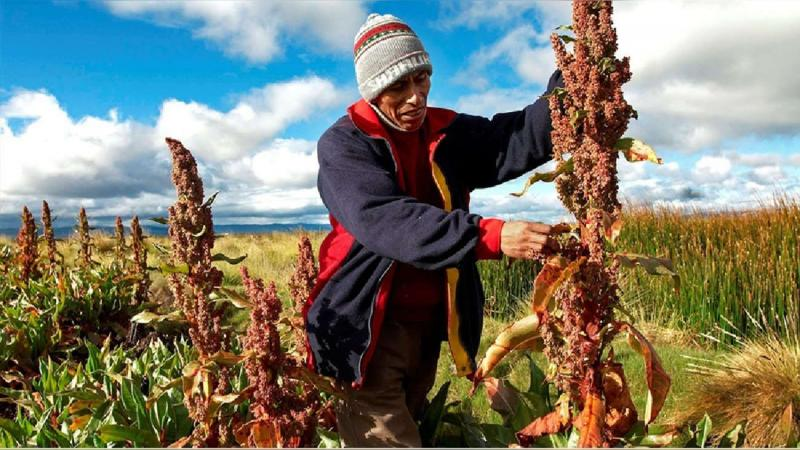 Producción nacional de quinua crece 75.2% en junio de 2021