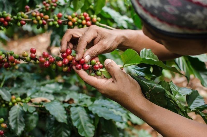 Producción y exportación de café de Perú crecería 10% este año