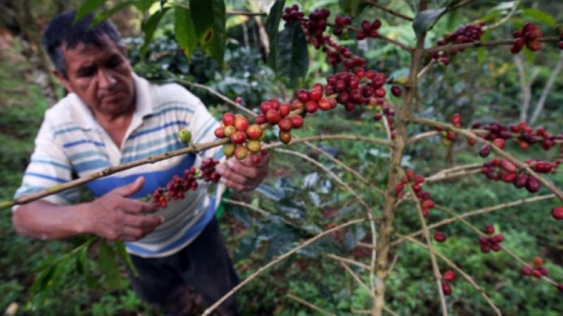 Producción y exportación de café disminuyeron el 2019