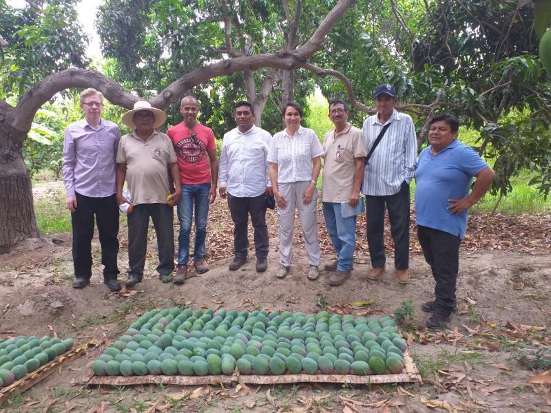Productores de Chulucanas migraron a mango y cambiaron su vida