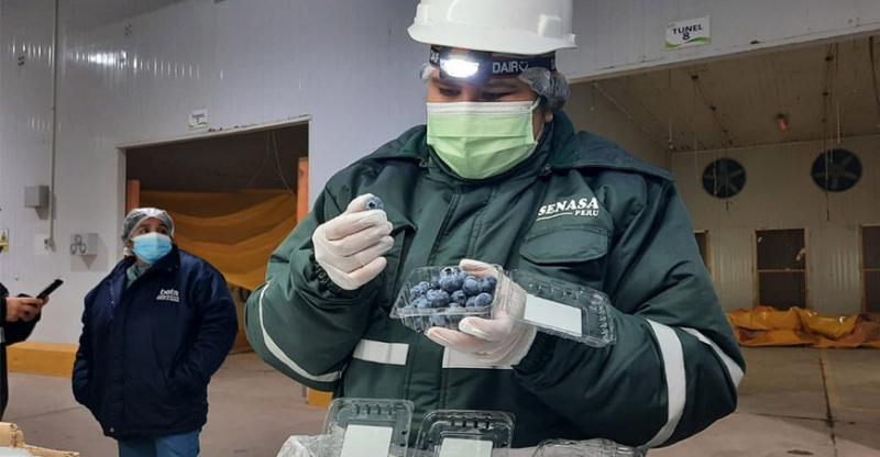Productores de Ica exportan por primera vez arándanos a Chile