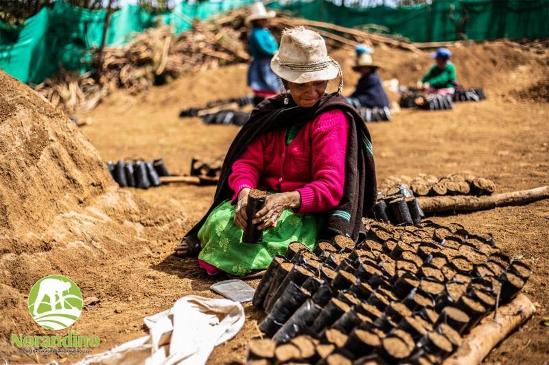 Productores de la Cooperativa Agraria Norandino siembran 115.544 plantones en lo que va de 2020