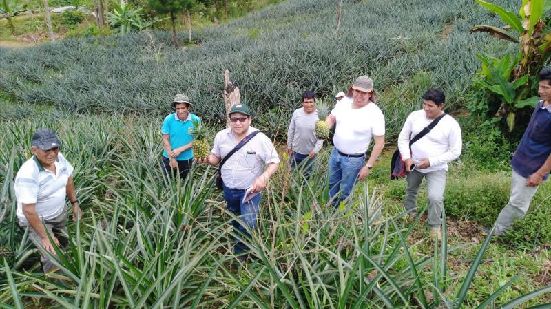 Productores del Vraem logran cosechar 33.000 piñas Golden por hectárea