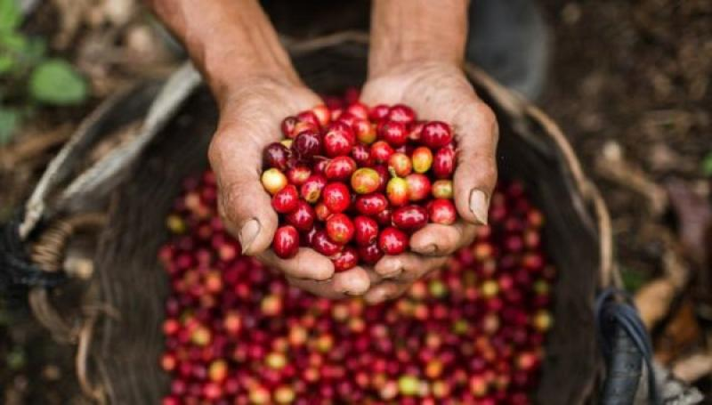 Promueven modelos de caficultura libre de deforestación a cambio de incentivos económicos