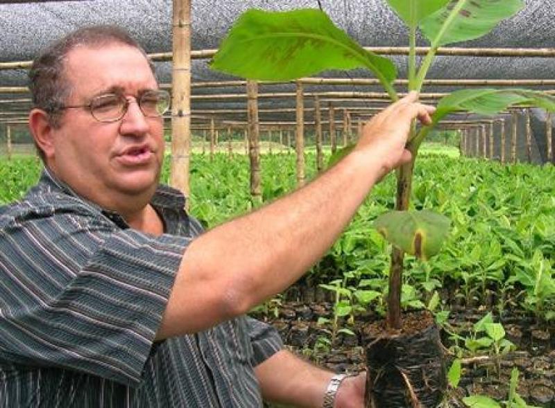 Prueban primer banano tipo cavendish resistente al marchitamiento por Fusarium Raza 4 Tropical
