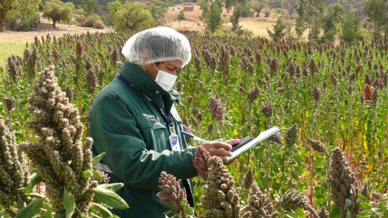 Quinua peruana ya puede exportarse a Colombia