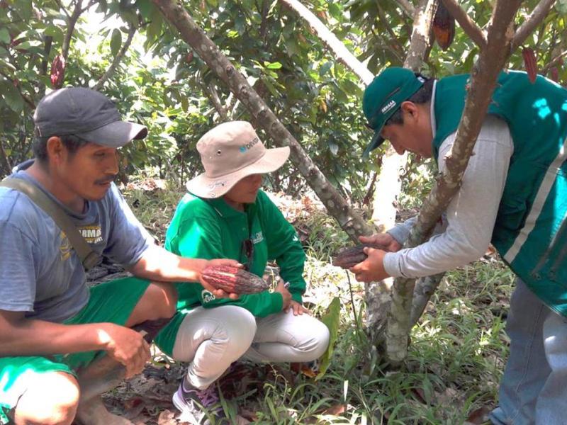 Realizan estudios para prevenir plagas en cultivos de cacao en Pasco
