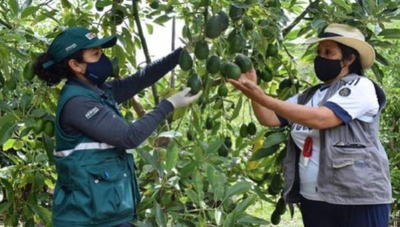 Regionalización de Senasa pondría en jaque control de plagas y la exportación agrícola