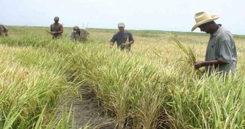 San Martín concentrará el 25% de la superficie nacional de arroz