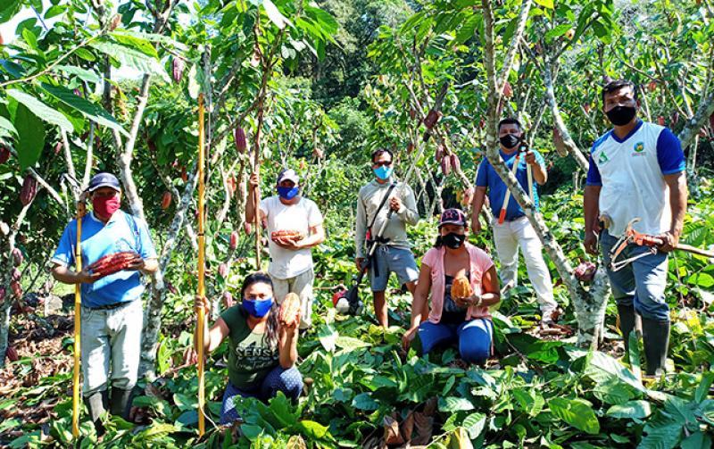 San Martín: plagas como el mazorquero y la moniliasis afectaron un 30% de la producción de cacao en el Huallaga Central