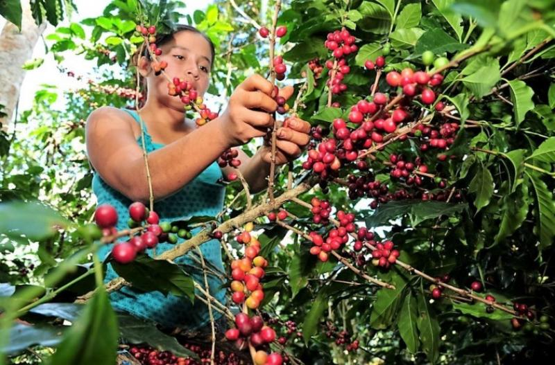 San Martín promoverá una mayor producción de café sostenible y competitivo