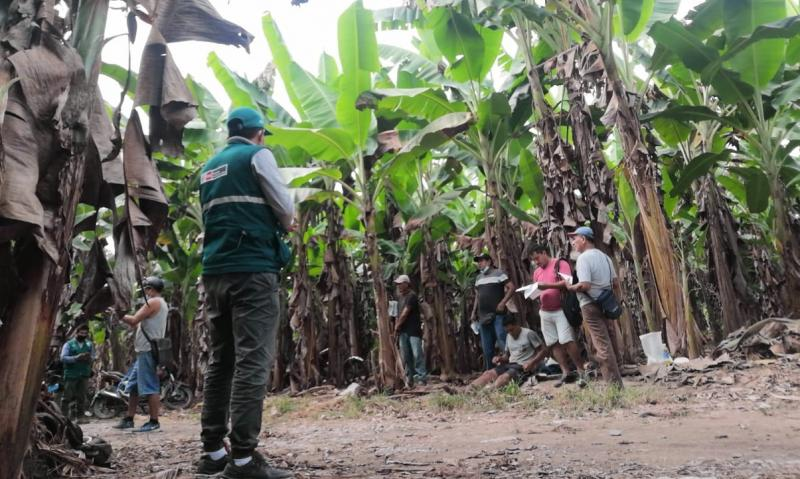 San Martin: Senasa refuerza acciones estratégicas como medida de prevención del Fusarium R4T