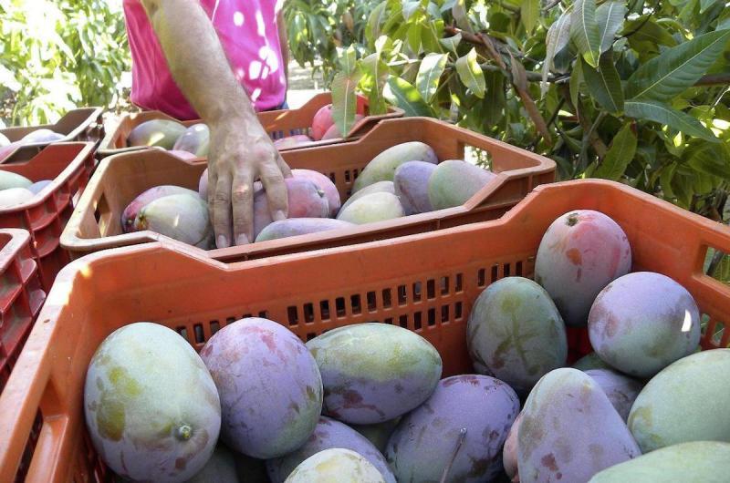 Se dejó de exportar 1.200 toneladas de mango por huelga de productores