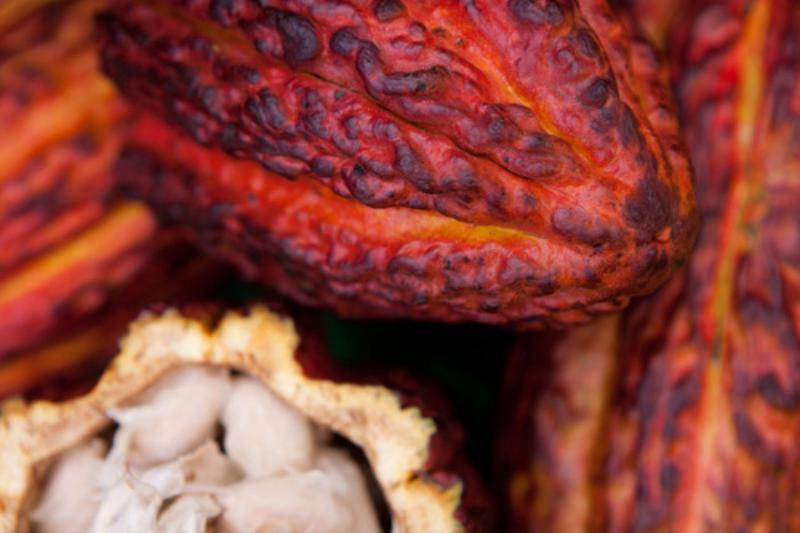 Se requieren 24 mil litros de agua para producir un kilogramo de cacao