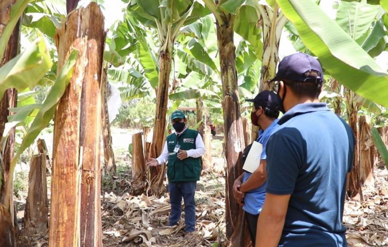 Senasa despliega vigilancia fitosanitaria permanente en resguardo de cultivos de plátano y banano