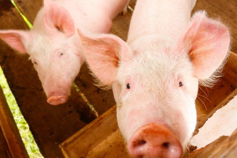 Senasa prohíbe el ingreso de mercancías de origen porcino al Perú