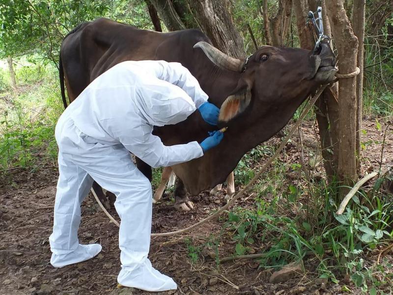 Senasa realizó simulacro para el control de fiebre aftosa en Amazonas