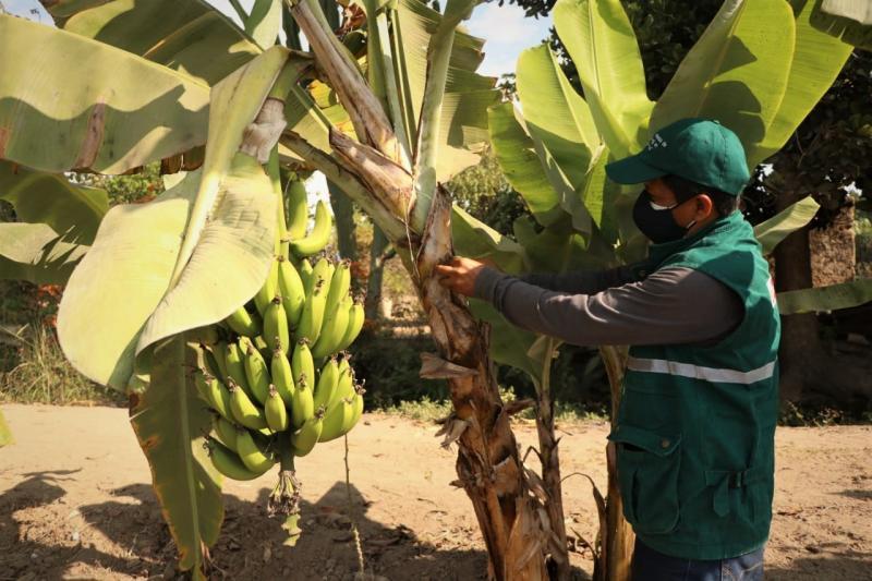 Senasa refuerza acciones para salvaguardar producción de plátano y banano en Cajamarca