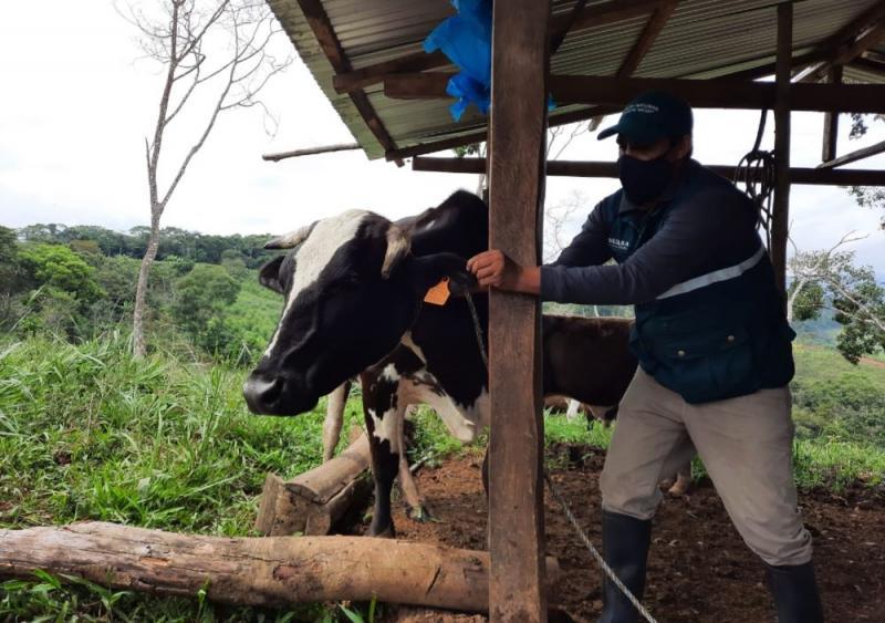 Senasa registra avance en identificación de bovinos y porcinos para sistema de rastreabilidad de productos cárnicos y derivados