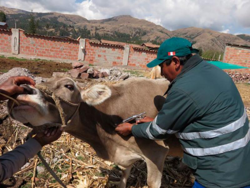 Senasa vacunó a 96.212 bovinos contra Carbunco sintomático en Puno