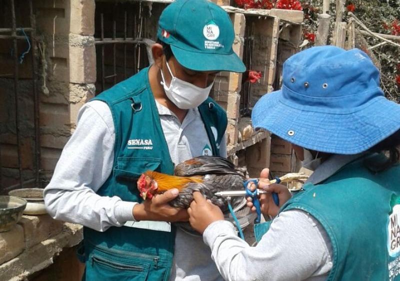 Senasa vacunó a más de 388 mil aves para prevenir la enfermedad de Newcastle