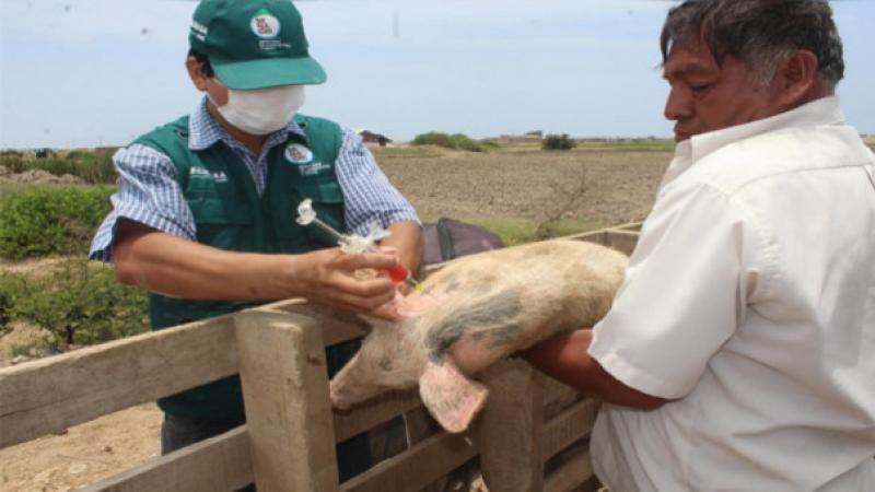 Senasa vacunó a mil cerdos contra peste porcina clásica en Áncash