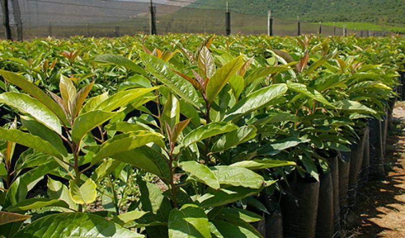 Siembran 236 plantones de palta Hass en la provincia de Bolívar