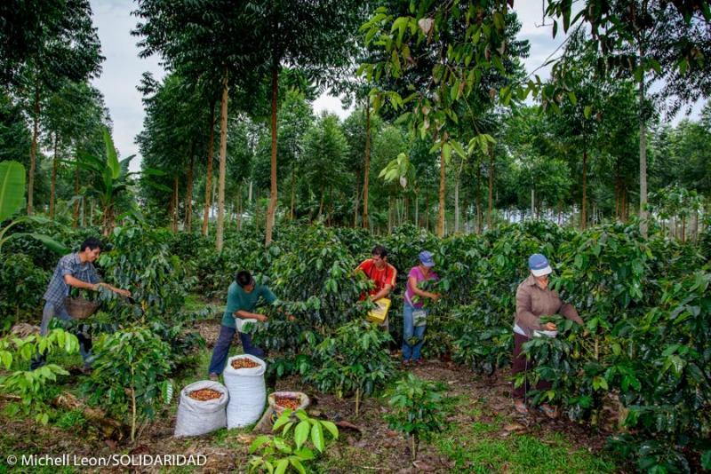 Solidaridad brindará cursos online sobre café adaptado al cambio climático