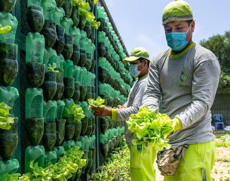 Surco posee el biohuerto vertical más grande del Perú que brinda hortalizas para comedores populares