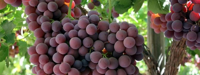 UNALM dictará curso sobre la Fisiología de uva de mesa