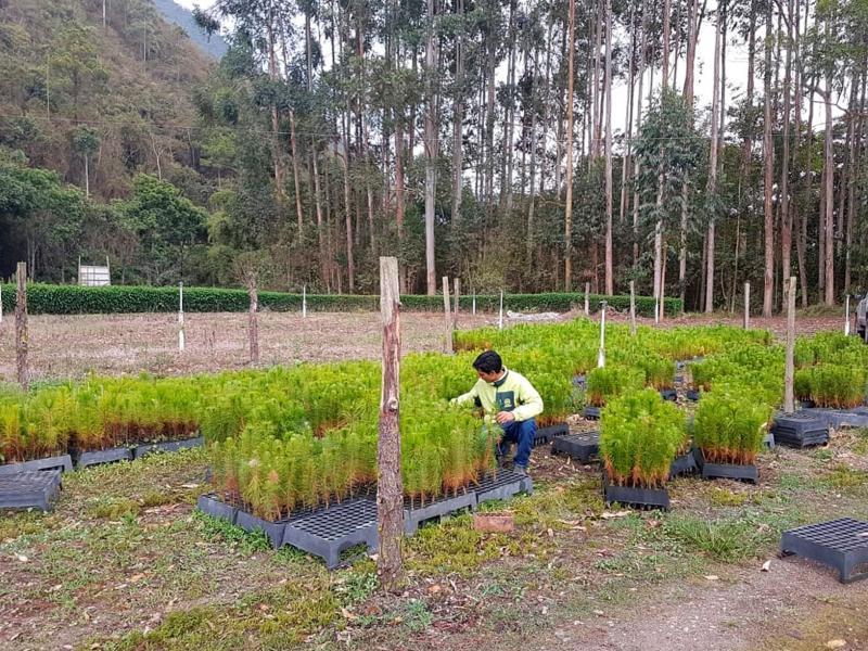 UNALM dona 9.300 plantones de pino rojo a asociaciones de Oxapampa