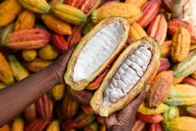 Unión Europea pone en jaque al cacao peruano por la presencia del cadmio