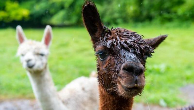 Universidad chilena vende su hallazgo de anticuerpo de alpaca contra el Covid-19