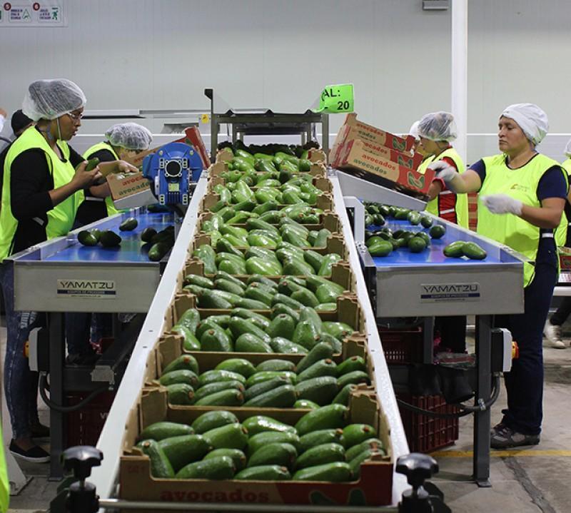 Verdeflor exportará su propia producción de palta Hass este año