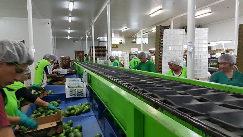 Verdeflor sumará dos plantas de maquila y empaque de paltas en Ica y Arequipa