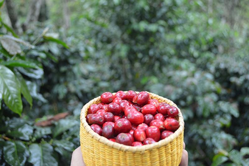 Villa Rica: Cooperativa Cepro Yanesha exporta 200 toneladas de café orgánico por US$ 700 mil