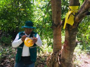450 hectáreas de frutales en vigilancia en Amazonas