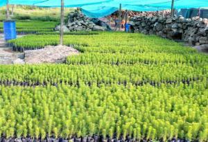 800 mil pinos reforestarán la sierra central de Ica