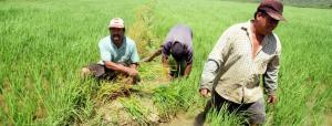 Abastecimiento de arroz está garantizado así no se siembre en la campaña complementaria en Piura