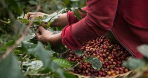 Abonan más de 11.000 hectáreas de café con guano de isla para mejorar producción