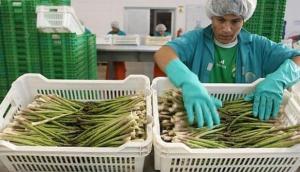 Abundante producción peruana de espárragos mantiene los precios bajos en el mercado internacional