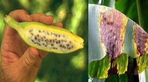 ADN de hongo que causa la Sigatoka Negra fue descifrado