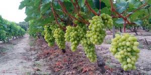 Agrícola Cerro Prieto proyecta exportar 3.500 toneladas de uva de mesa en la campaña 2019/2020