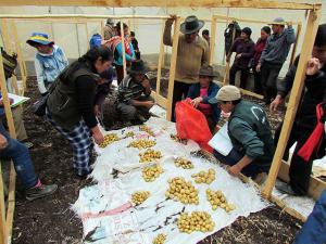 Agricultores aprenden técnicas innovadoras para producir semillas de papa de calidad genética