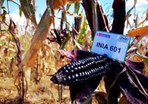Agricultores de Cajamarca inician cosecha de maíz morado INIA 601