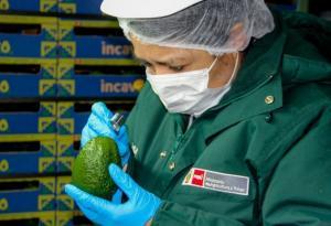 Agricultores de palta Hass de Áncash posicionan sus productos en mercados internacionales