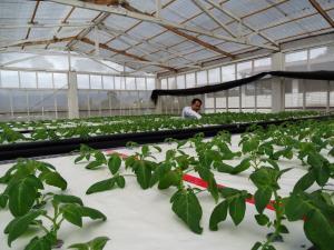 Agricultores incrementaron producción de papa con tecnologías generadas por el INIA